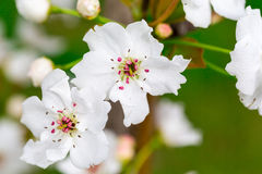 Pear Blossom with green background. Asian Pear Blossom.   Flower of Pyrus pyrifolia, a type of pear tree native to many asian countries Royalty Free Stock Photography