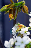 Pear blossom. Home, a pear blossom bee attracted a lot of flowers and a big harvest this year Stock Images