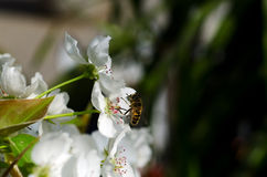Pear blossom. Home, a pear blossom bee attracted a lot of flowers and a big harvest this year Royalty Free Stock Images