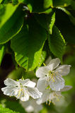 Pear blossom. Home, a pear blossom bee attracted a lot of flowers and a big harvest this year Stock Photography