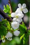 Pear blossom. Home, a pear blossom bee attracted a lot of flowers and a big harvest this year Royalty Free Stock Photos