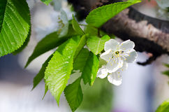 Pear blossom. Home, a pear blossom bee attracted a lot of flowers and a big harvest this year Royalty Free Stock Image