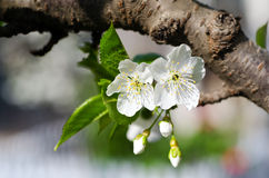 Pear blossom. Home, a pear blossom bee attracted a lot of flowers and a big harvest this year Royalty Free Stock Photo
