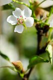 Pear blossom. Home, a pear blossom bee attracted a lot of flowers and a big harvest this year Stock Photos