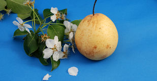 Pear  blossom and pear Royalty Free Stock Images