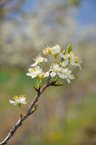Pear  blossom Royalty Free Stock Photo