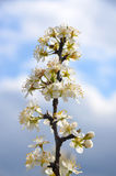 Pear  blossom Stock Image