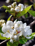 Pear blossom Stock Photo