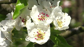 Pear blossom (Pyrus communis). Pear blossoms (Pyrus communis) in full bloom on a branch, rocking gently in the breeze stock footage