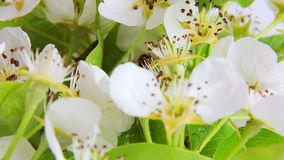 Pear blossom rotates on a white background covered with dew drops. Video 360 stock footage