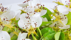 Pear blossom rotates on a white background covered with dew drops. Video 360 stock video footage