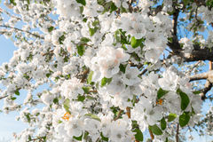 Pear blossom in spring Royalty Free Stock Photography