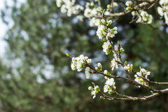 Pear blossom. In spring close-up Royalty Free Stock Image
