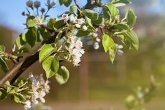 Pear blossom and spring season. Pear tree in bloom. stock image