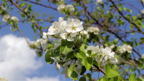 Pear blossom. Spring time, blooming pear fruit trees in the garden stock footage