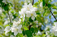 Pear blossom. Blossom of the pear tree Stock Photos