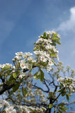 Pear blossoms. White pear blossoms on blue sky Stock Image