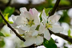 Pear blossoms apple tree blooms. spring came