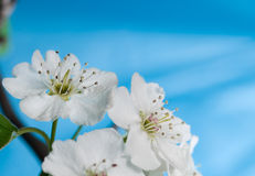 Pear blossoms bloom against a blue sky Stock Image