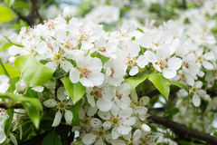 Pear Blossoms Royalty Free Stock Image