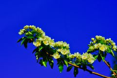 Pear blossoms on blue sky background. Pear tree limbs with white flowering blossoms in the early spring royalty free stock images