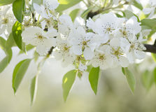 Pear blossoms on a branch on a natural background Stock Photo