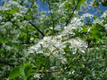 Pear blossoms. Close-up of blooming pear tree branch in the sunlight in spring Stock Image