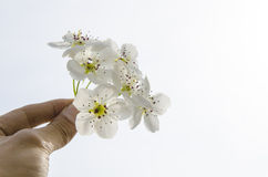 PEAR Blossoms close-up. PEAR Blossoms In the hand royalty free stock photography