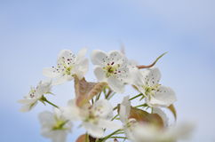 PEAR Blossoms close-up. Photo taken on: 2014 from china mountain royalty free stock photo