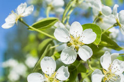 Pear blossoms in a daylight Royalty Free Stock Image