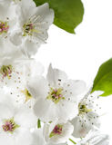 Pear blossoms isolated on white Stock Photography