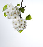 Pear blossoms isolated on white Royalty Free Stock Image