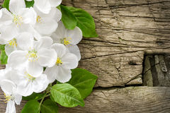 Pear blossoms over wood background Stock Image