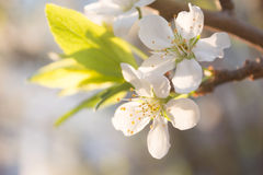 Pear blossoms Royalty Free Stock Photo