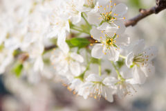 Pear blossoms Stock Image