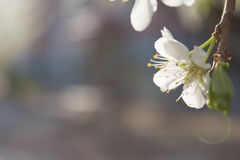 Pear blossoms Royalty Free Stock Images