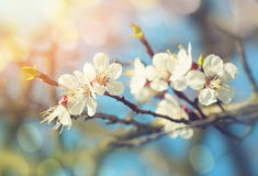 Pear blossoms in spring Royalty Free Stock Images