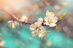 Pear blossoms in spring Stock Image