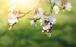 Pear blossoms in spring Stock Photo