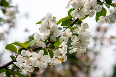 Pear Blossoms Stock Photos