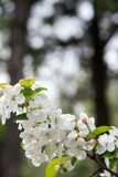 Pear Blossoms Royalty Free Stock Photos