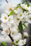 Pear Blossoms Stock Photo