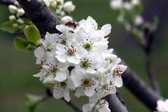 Pear Blossoms in Spring. A clump of pear blossoms with white petals, green centers and deep red stamens, on the branch of the pear tree. A small bee is gathering royalty free stock image