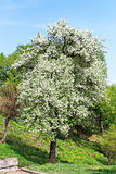 Pear blossoms in the spring Royalty Free Stock Photo