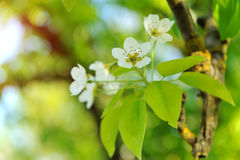 Pear blossoms in spring Stock Images