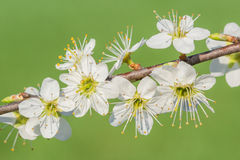 Pear blossoms. On a sunny day in spring stock photography