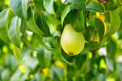 Pear on a branch Royalty Free Stock Photo