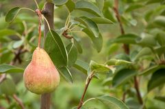 Pear on the branch Stock Images