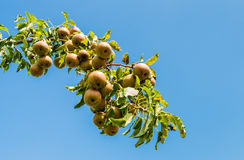 Pear branch against a blue sky Stock Images