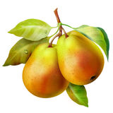 Pear on a branch. drawing Royalty Free Stock Photo